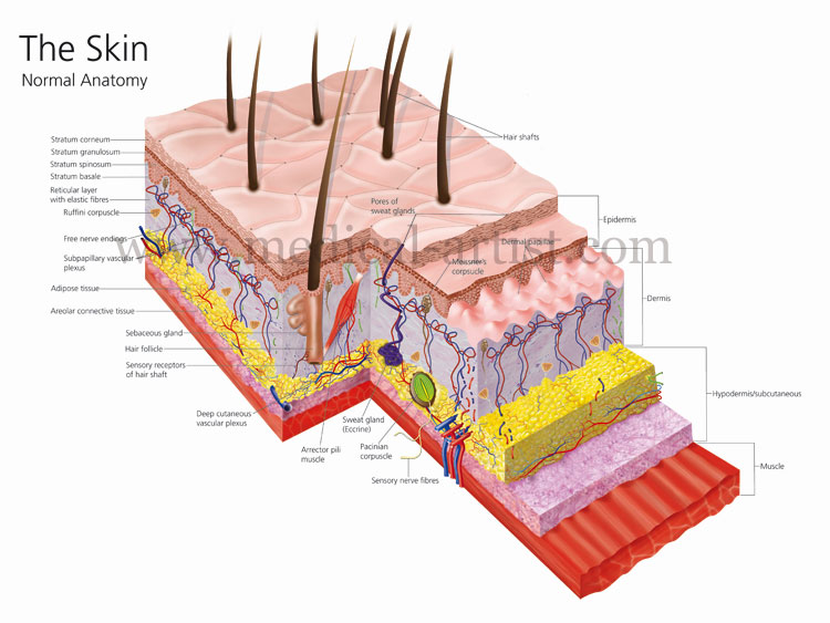 anatomy skin project This skin lab for the integumentary system covers the skin and associated functions in the human body this lab is very flexible as it will work for any level student.